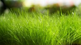 Green Grass HD Wallpaper 1542