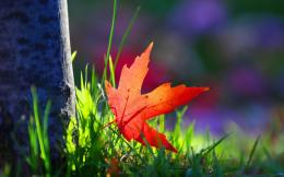 Red Leaf Green Grass Macro HD Wallpapers 1197
