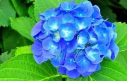 Hydrangea Desktop Wallpapers 1406