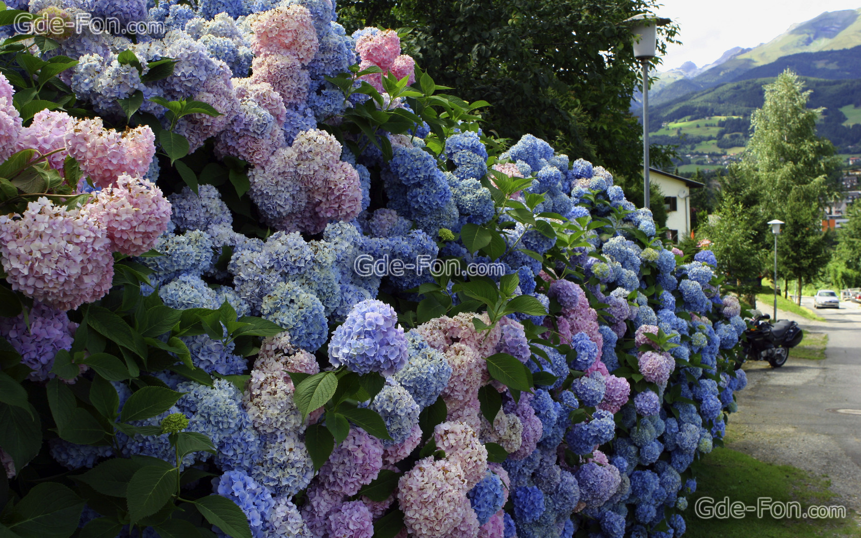 wallpaper hydrangea, shrubs, Street, live free desktop wallpaper 537