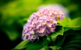 Hydrangea Desktop Wallpapers 419