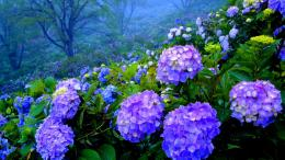 Download Beautiful Hydrangea garden High quality wallpaper 400