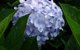 Hydrangea Desktop Wallpapers 859