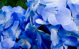 Download Blue hydrangea wallpaper 1167