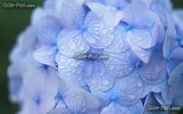 Download wallpaper hydrangea, blue, drops, dew free desktop wallpaper 1428