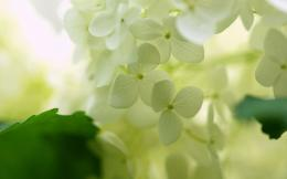 Hydrangea Desktop Wallpapers 1245