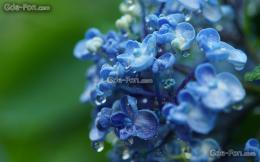 wallpaper macro, hydrangea, buds, branch free desktop wallpaper 1899
