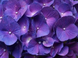 2560x1920 Hydrangea Purple desktop PC and Mac wallpaper 489