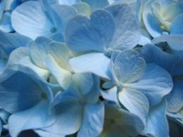 Download Beautiful Hd Hydrangea Blue Flowers Wallpaper For Desktop 1689