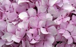 Hydrangea Desktop Wallpapers 592