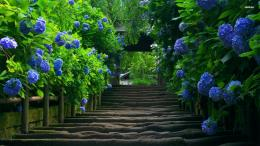 blue hydrangeas wallpaper 1280x800 Stairs under the blue hydrangeas 1815