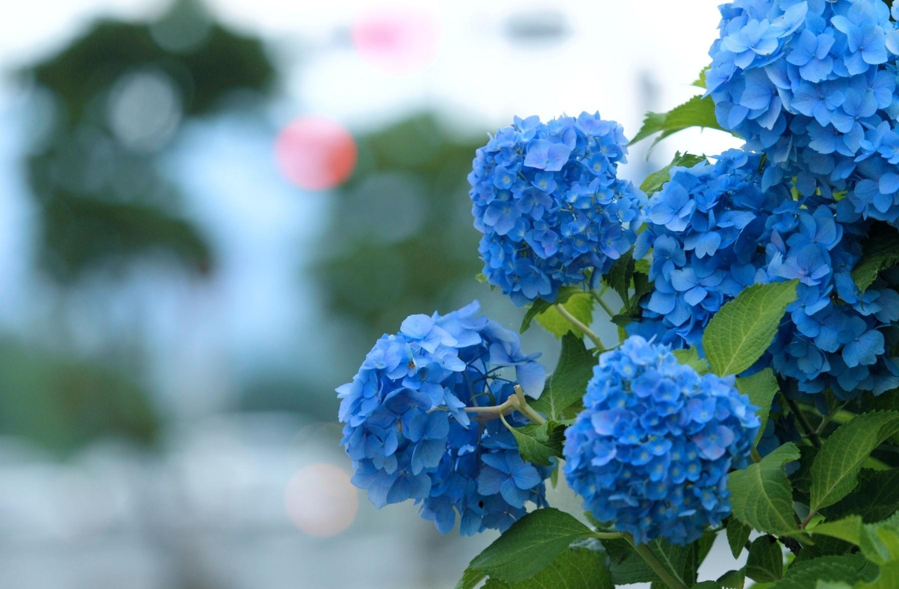 Hydrangea Desktop Wallpapers 1232