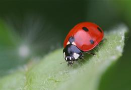 animals insects ladybug HD Wallpaper of Insects & Bugs 185