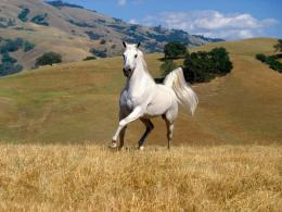 White Running Horse hd wallpaper 206