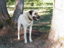 kangal dog wallpapers viewed 3835 persons country of origin turkey 688