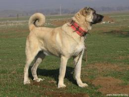 kangal dog wallpapers viewed 62628 persons country of origin turkey 1528