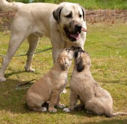 Kangal Dog And Her Babies Photo 1600×1559 Wallpaper 180