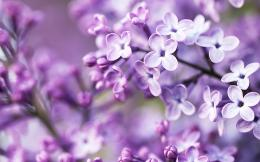 Spring Purple Flowers 424