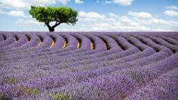 Lavender Fields HD Wallpapers 1111