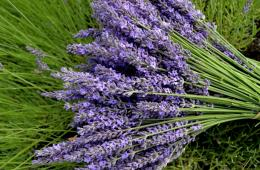 lavender flowers wallpapers hd 25 1321