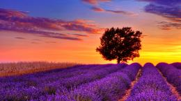 Lavender Fields HD Wallpapers 1564