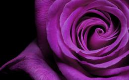 with: HD Wallpapers 1080p Purple Rose Purple Rose HD Wallpapers 1080p 1726
