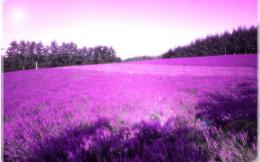 Purple lavender Wallpaper backgrounds 1440x900 widescreen hd wallpaper 1446