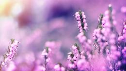 Lavender Flowers Wallpapers 415
