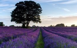 Flowers » Landscape » Others » Lavender Purple Landscape Wallpaper 1138
