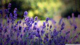 Lavender Flowers Wallpaper 1920x1080 Beautiful, Lavender, Flowers 1820