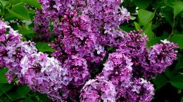 Lilac Bushes HD Wallpapers 1107