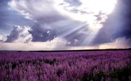 Lavender Fields HD Wallpapers 1215