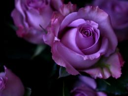 Purple Roses Wallpaper 563