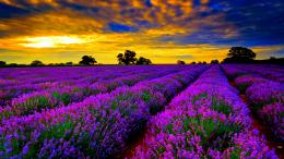 Tagged with: Lavender Fields Lavender Fields HD Wallpaper 113
