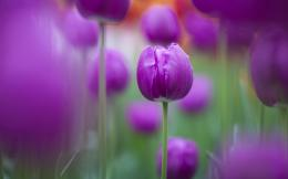 Purple Tulips 936