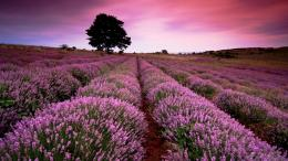 Lavender Fields HD Wallpapers 1230