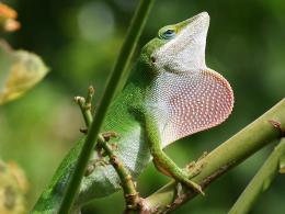 lizard wallpaper , animal wallpapers , green lizard wallpaper 1375