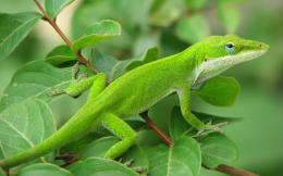 information technologygreen lizard wallpaper desktop hq wallpapers 520