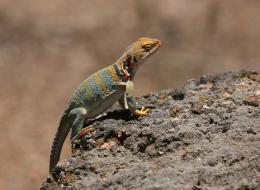 Lizard Wallpapers 977