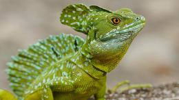 Lizard wallpaper 1395
