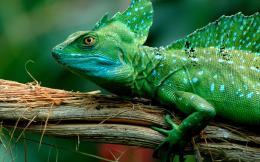 Lizard Wallpapers 768