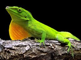 Lizard HD Wallpapers 1868
