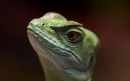 Lizard wallpaper 1517