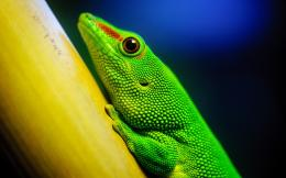 Green lizard wallpaper 605