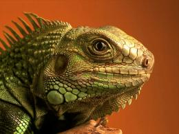 Lizard Wallpapers 1628