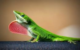 Lizard HD Wallpapers 457