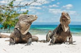 Iguana, Lizard, Beach, Cuba wallpapers 1794