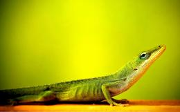 Green lizard hd wallpaper 941
