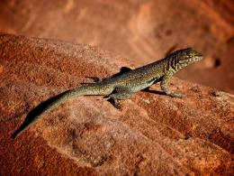 Lizard on Rock Normal HD Wallpaper 872