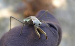 insects bug mantis HD Wallpaper of Insects & Bugs 256